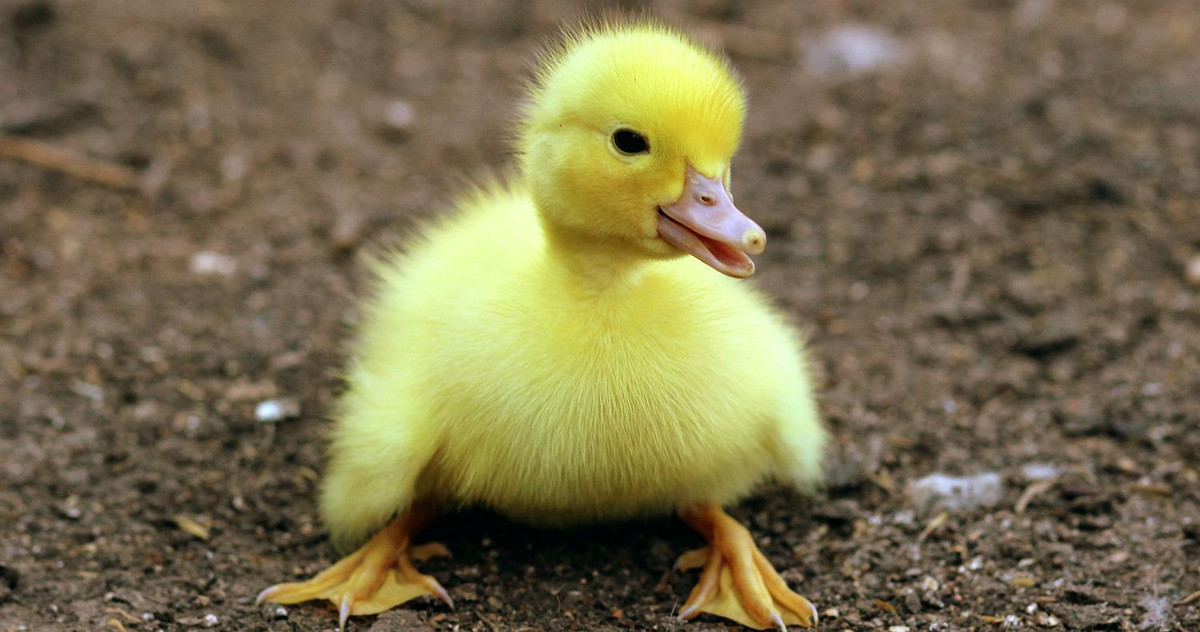 Picture of a baby duck