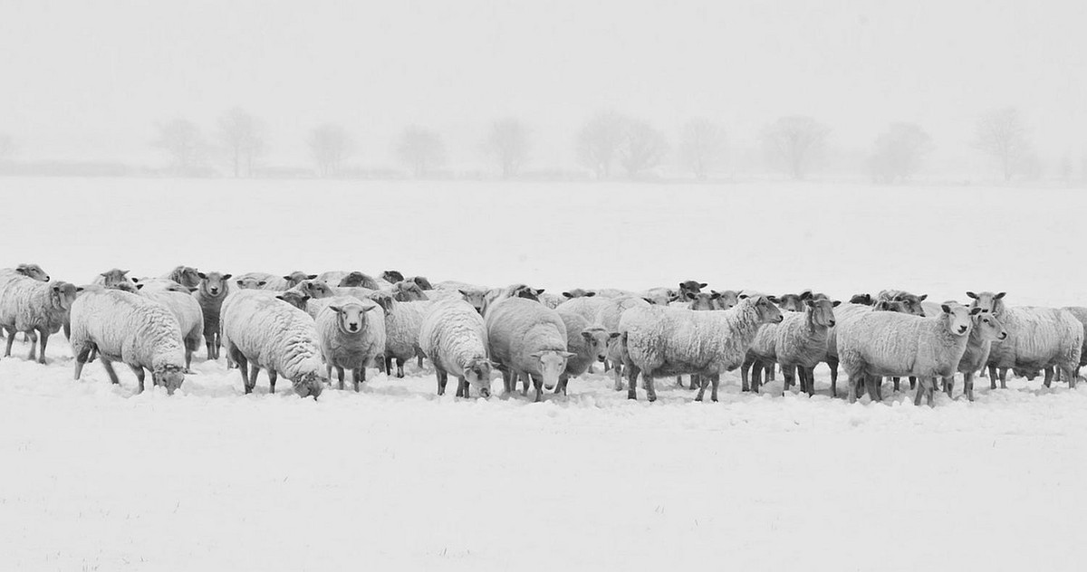 Picture of a herd of sheep