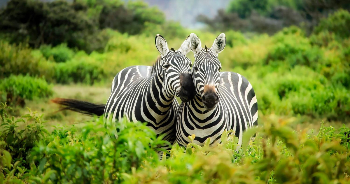 Picture of 2 zebras