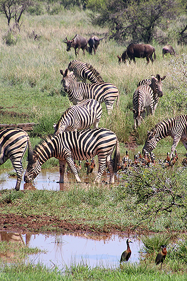 filler-news-business-tiere-zebra4-en.jpg